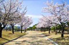Flor rosado del cerezo y cielo azul del claro Fotografía de archivo libre de regalías