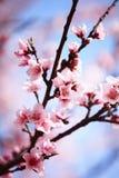 Flor rosado del ciruelo fotografía de archivo