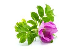 Flor rosado del escaramujo aislado en el fondo blanco imagen de archivo libre de regalías