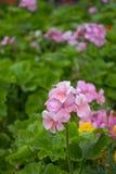 Flor rosado del geranio Fotos de archivo libres de regalías