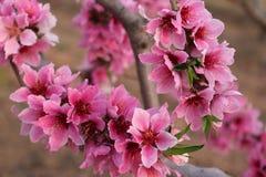 Flor rosado del melocotón fotografía de archivo libre de regalías