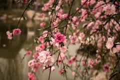 Flor rosado del melocotón Fotografía de archivo