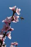 Flor rosado del melocotón con una abeja Fotos de archivo libres de regalías