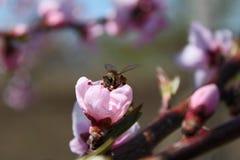 Flor rosado del melocotón con una abeja Foto de archivo libre de regalías