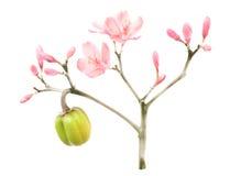 Flor rosado del resorte de la acuarela y de la tinta Imágenes de archivo libres de regalías