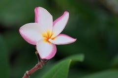 Flor rosado dulce de la flor del plumeria en un jardín botánico imagen de archivo libre de regalías