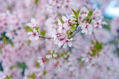 Flor rosado en Japón Imágenes de archivo libres de regalías
