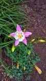 flor Rosado-violeta fotos de archivo libres de regalías