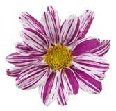 Flor roxa foto de stock royalty free
