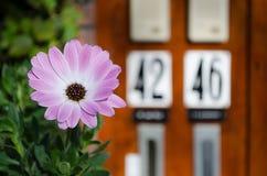 Flor roxa Imagens de Stock Royalty Free