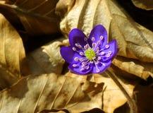 Flor roxa Fotografia de Stock Royalty Free