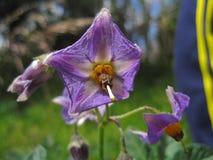 Flor roxa Fotos de Stock Royalty Free