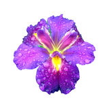Flor roxa Fotografia de Stock