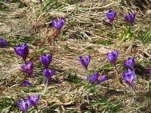 Flor roxa, açafrão na mola Fotografia de Stock