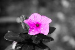 Flor roxa após a chuva fotografia de stock royalty free