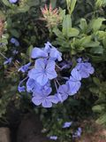 Flor roxa azul Fotografia de Stock Royalty Free