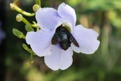 Flor roxa azul da videira do louro, laurifolia do Thunbergia o erro preto senta-se na flor Fotos de Stock Royalty Free