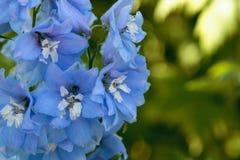 Flor roxa, azul e branca da espora Imagens de Stock
