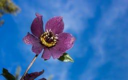 Flor roxa bonita Imagem de Stock