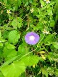 Flor roxa bonita fotos de stock royalty free