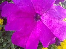 Flor roxa bonita Fotografia de Stock Royalty Free