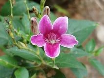 A flor roxa bonita com ela o ` s brota fotografia de stock