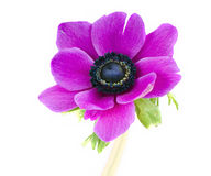 Flor roxa bonita do anemone imagens de stock