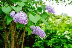 Flor roxa bonita do Syringa (lilás) Imagem de Stock Royalty Free