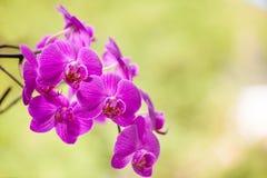 Flor roxa bonita na luz - backround verde da orquídea Imagens de Stock Royalty Free