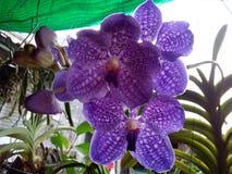 Flor roxa bonita Tailândia da orquídea Foto de Stock Royalty Free