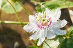 Flor roxa branca da paixão Imagem de Stock Royalty Free