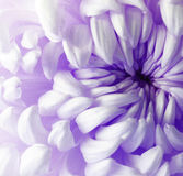 Flor roxa branca do crisântemo closeup Macro Imagens de Stock