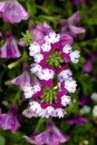 Flor roxa, branca e verde Fotos de Stock Royalty Free