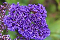 Flor roxa brilhante Fotografia de Stock
