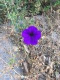 Flor roxa brilhante Imagens de Stock