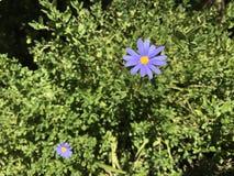 Flor roxa brilhante com amarelo para dentro Fotografia de Stock