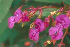 Flor roxa brilhante do cirrhigerum do boca-de-lobo da flor no jardim fotos de stock royalty free