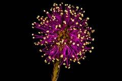 Flor roxa - Cat Claw Sensitive Briar imagens de stock