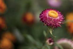 Flor roxa com amarelo o meio foto de stock royalty free