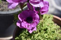 Flor roxa com estames pretos e os insetos inoperantes fotos de stock royalty free