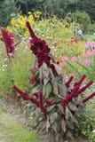 Flor roxa como uma vassoura que descansa e que toma sol no sol morno flor roxa que assemelha-se a um claro - fundo isolado verde foto de stock royalty free