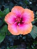 Flor roxa cor-de-rosa alaranjada em Bush imagem de stock