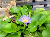 Flor roxa da água em Tailândia foto de stock
