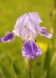 Flor roxa da íris Fotografia de Stock Royalty Free