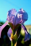 Flor roxa da íris Fotos de Stock