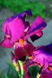 Flor roxa da íris Foto de Stock Royalty Free