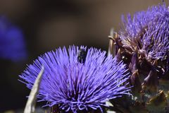 Flor roxa da alcachofra com besouro do pólen imagens de stock royalty free