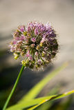 Flor roxa da cebola do alium Fotos de Stock