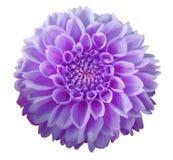 Flor roxa da dália, fundo branco isolado com trajeto de grampeamento closeup Imagens de Stock Royalty Free