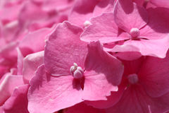 Flor roxa da hortênsia (macrophylla da hortênsia) em um jardim Imagem de Stock Royalty Free